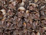 Cause of Ebola outbreak in West Africa was 'boy playing near infected bats'